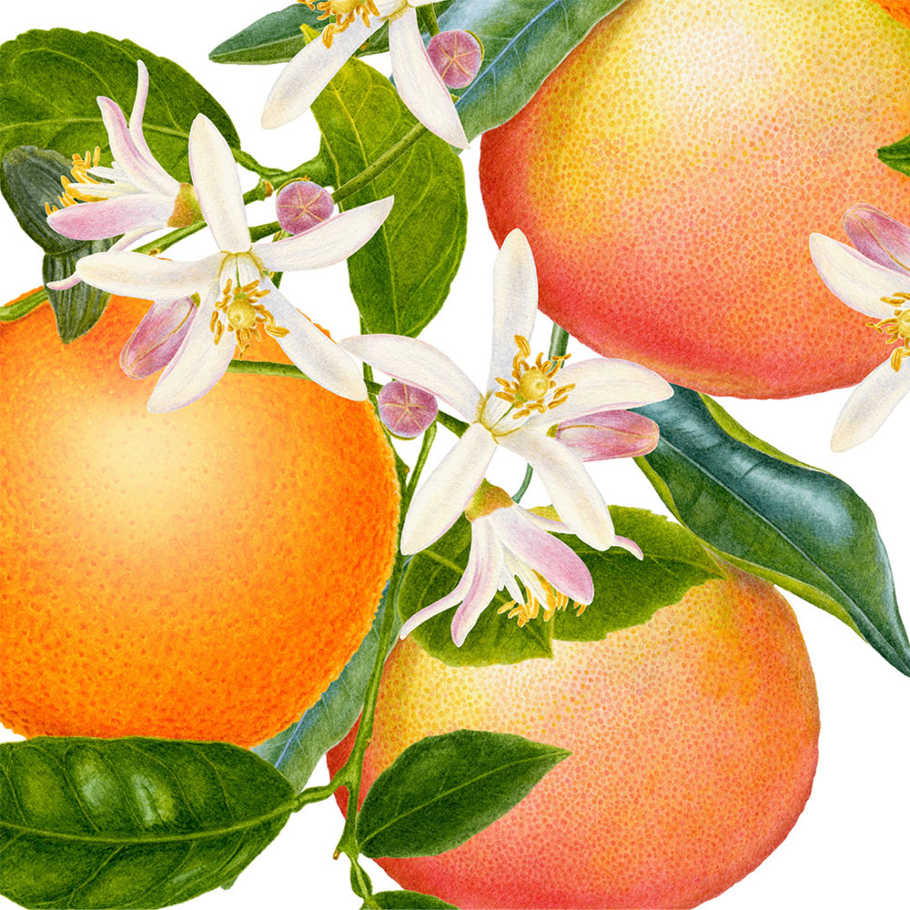 Carolyn-Jenkins-Darphin-Oranges 1