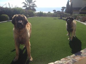 artificial grass for dogs, artificial grass for gardens, artificial grass for kids, artificial grass for golf, artificial grass for pets, dogs, astro turf for dogs, pets, battersea dogs home, artificial grass london dogs,