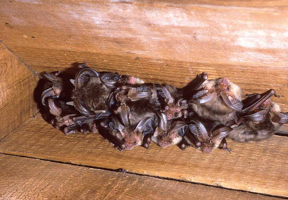 Colony of brown long eared bats in roof space