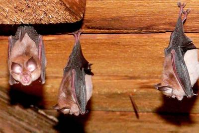 Lesser Horseshoe Slovakia Bats