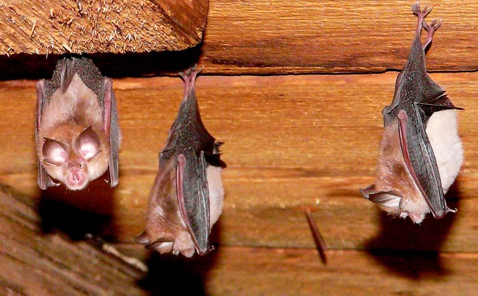 help me decorate my living room online converting bedroom to bat open living room best site Lesser Horseshoe Slovakia Bats
