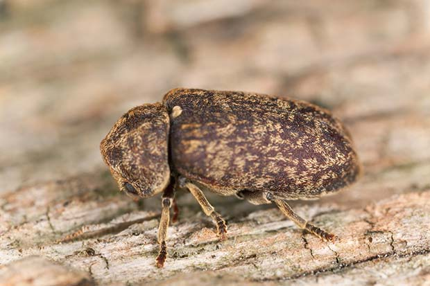 A Death-Watch Beetle