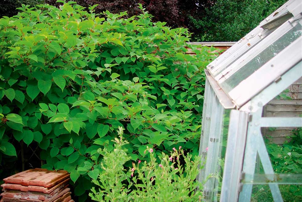 Knotweed and a greenhouse
