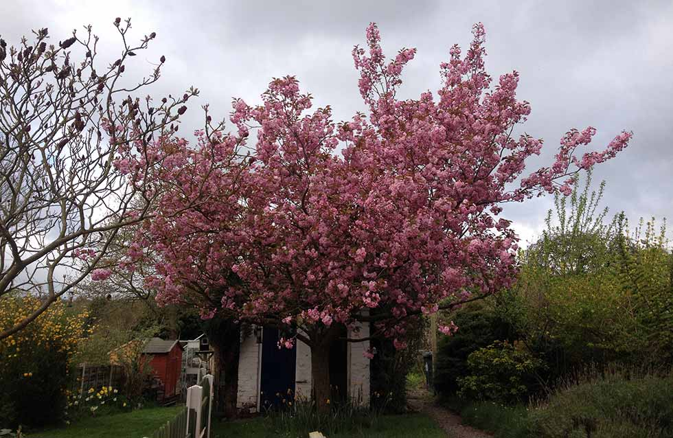 cherry tree in Lindsey's garden in full bloom against cloudy sky