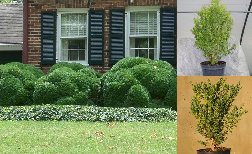 Box Hedging hedge xpress