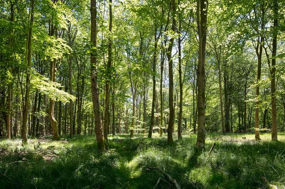Woodland Savernake Woods