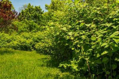 A warning about Japanes knotweed has been issued