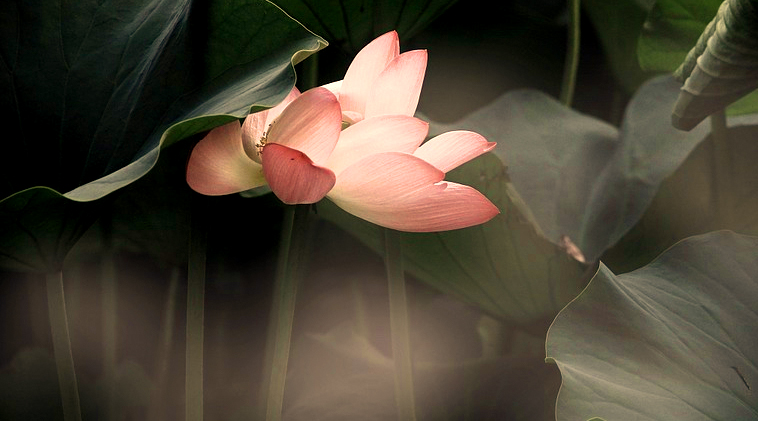Out-of-the-Mud-the-Lotus-Grows-affirmation-song-with-Arial-from-InevitableBliss
