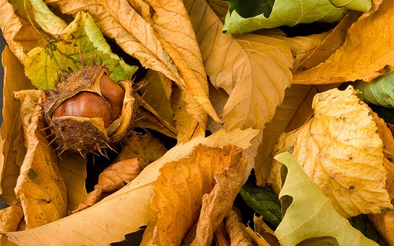 Autumn Medicine Chest: Fiona Heckels describes the benefits of shiny conkers