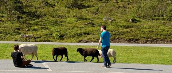 Mountain sheep near Geiranger