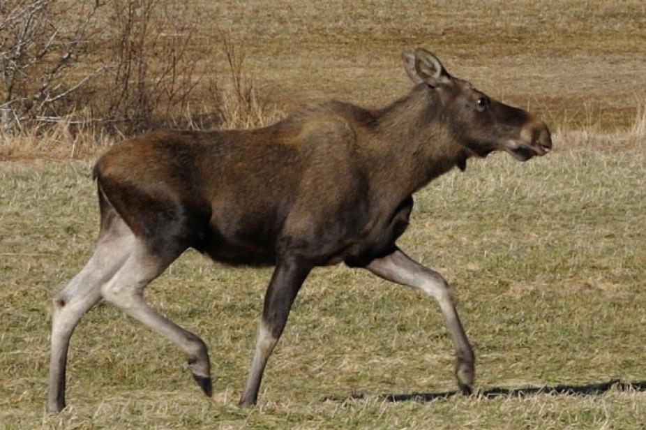 Elk in Norway