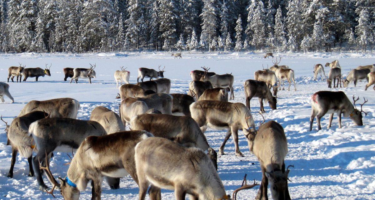 Reindeer TV