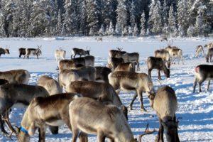 Follow Norway's Migrating Reindeer