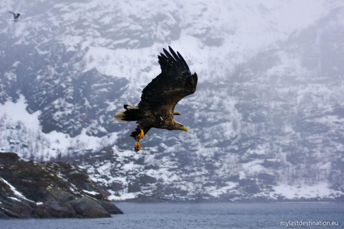 Sea Eagle safari in the Trollfjord