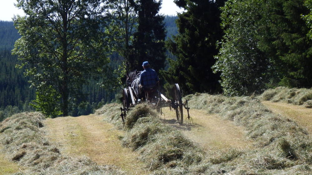 One of the local farmers preparing hay with his horse.