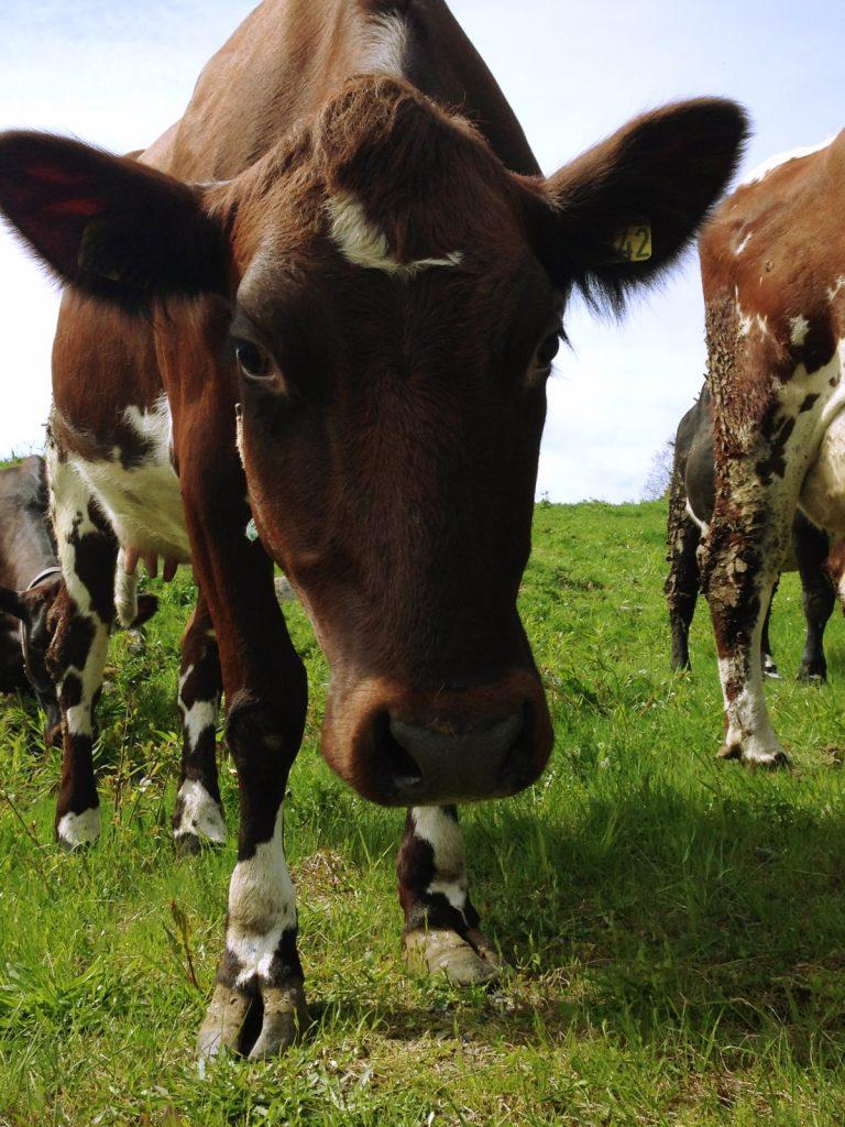 Cattle farming in Norway