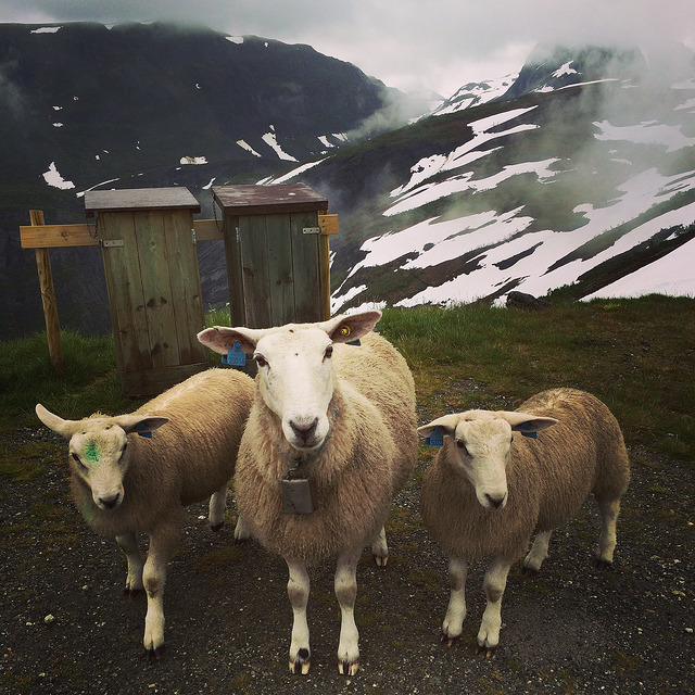 Sheep in July