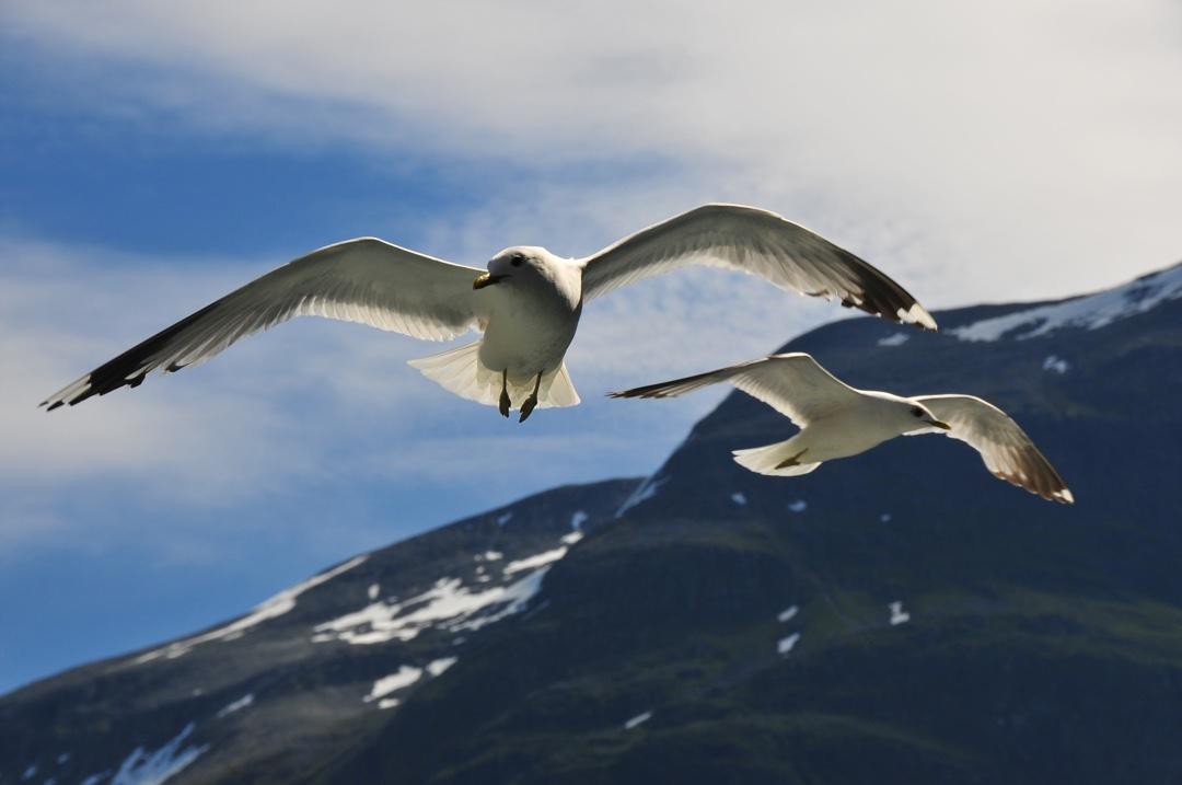 Birdlife near Geiranger