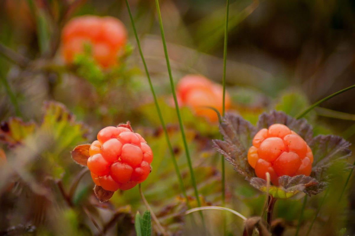 Wild cloudberries