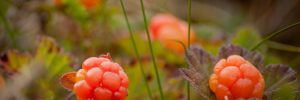 Norwegian Cloudberries