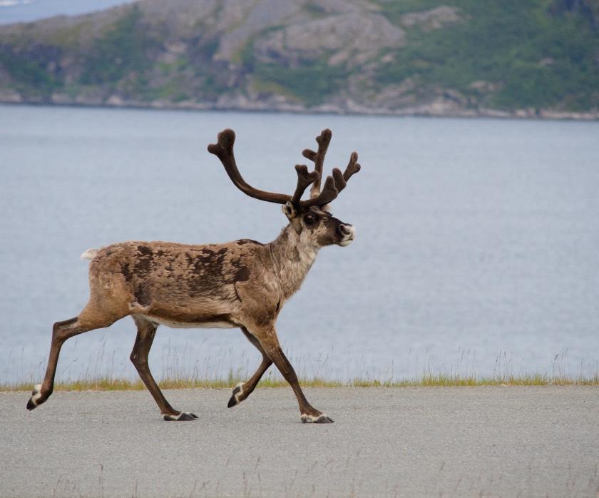 Wild reindeer running in Norway and Sweden