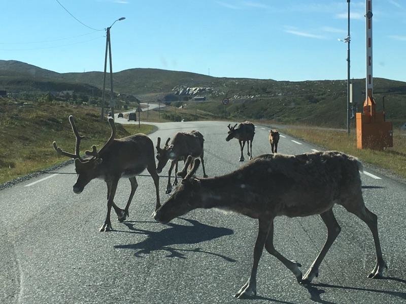 Reindeer on roads