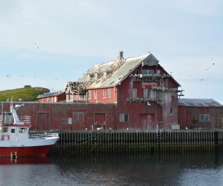 Huge numbers of seabirds on Røst