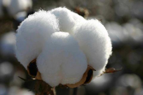 Virgin Fibre Cotton