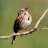 Exciteful Sparrow