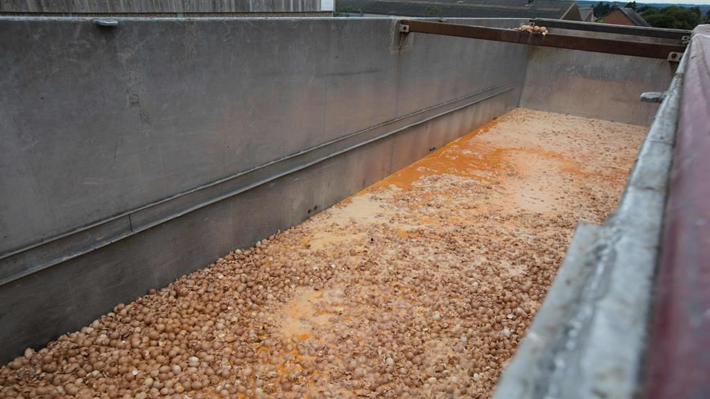 Destroyed: Thousands of eggs are disposed of at a farm in Belgium PICTURE: GETTY