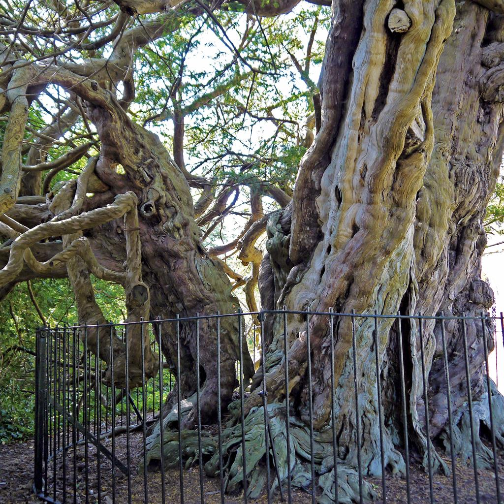1066 and all that: Crowhurst Yew probably predates the Norman invasion PICTURES: PA/WMTL