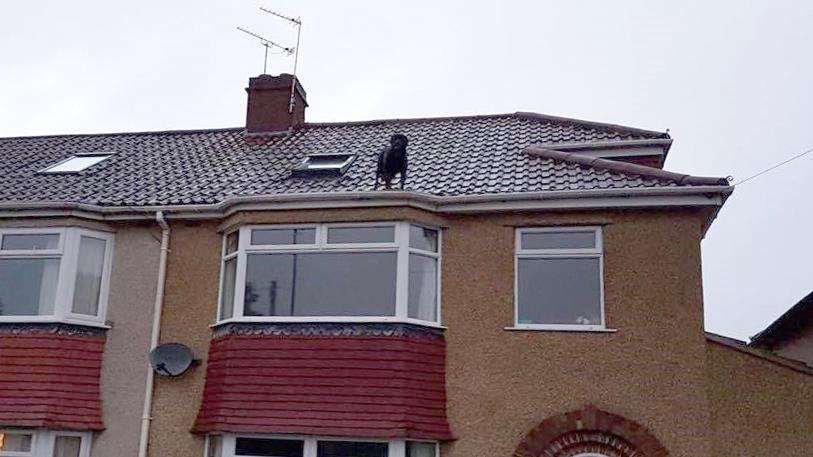 Dog house: Cooper the rottweiler on the roof and (below) with Micki PICTURES: SWNS