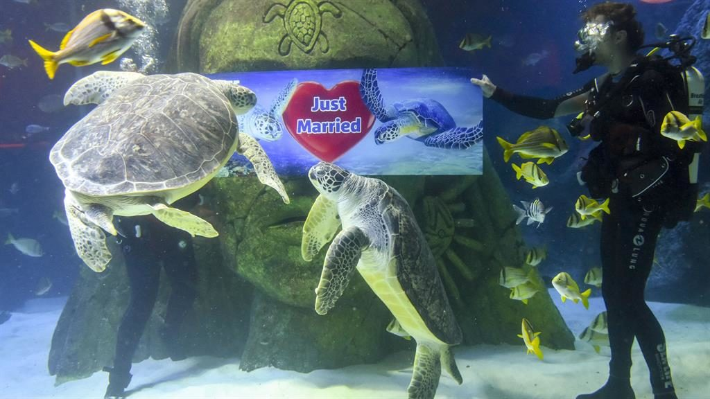 Hitched: The sea turtles are officially 'man and wife' PICTURES: MERCURY PRESS