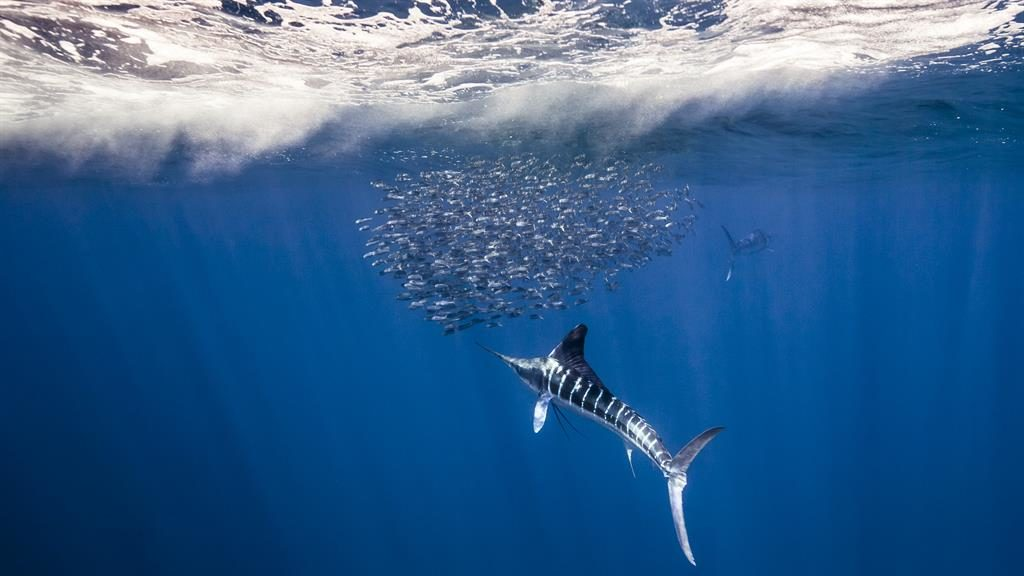Magic marlin: A striped marlin uses its 'spear' to hunt from a bait ball of sardines off Mexico PICTURES: CHRISTIAN VIZL