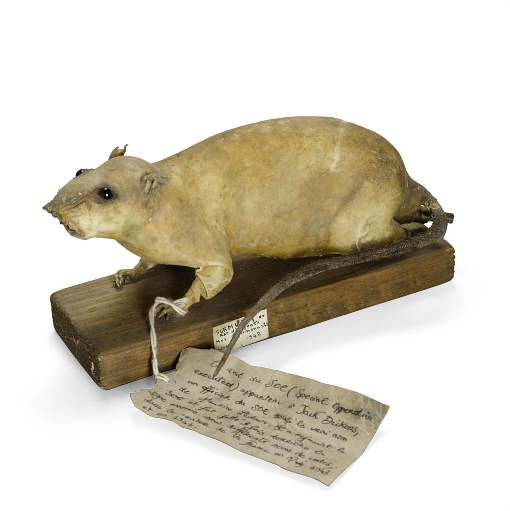 Smell a rat: The rodent bomb which was intercepted is expected to raise £1,500 in New York