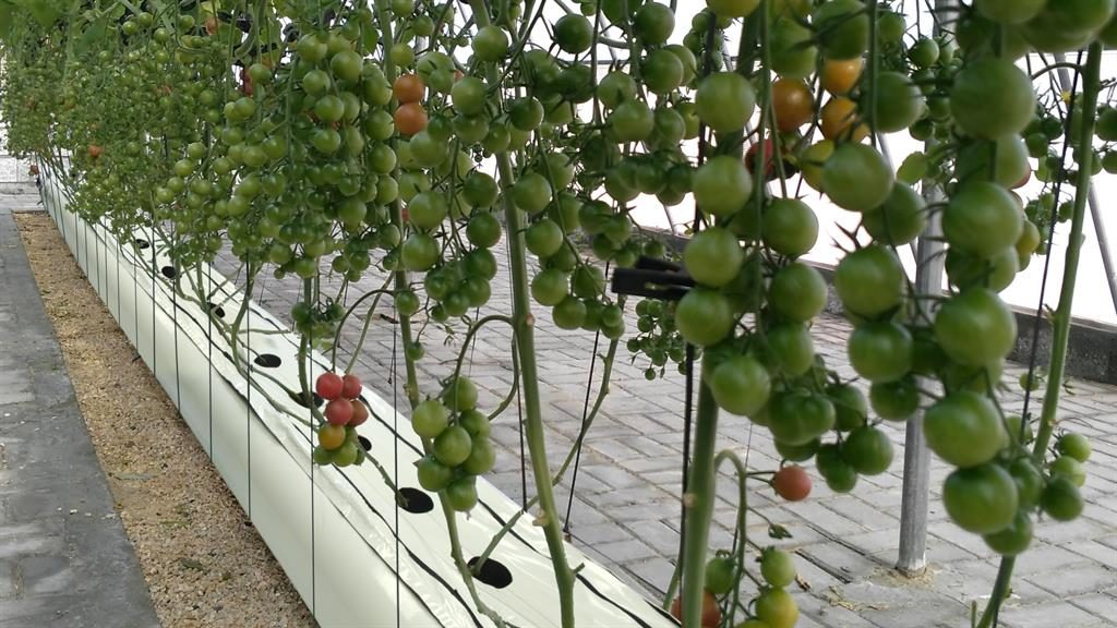 Bumper crops: Tomato plants thriving in the new hydroponics system developed by Adam Dixon (below) PICTURES: PHYTOPONICS/PA
