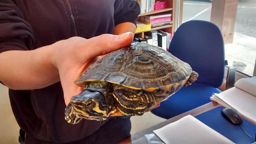 Brush with death: Terry the terrapin after he was rescued