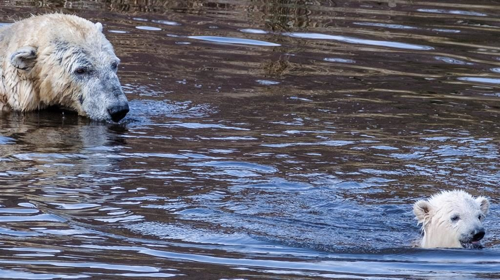 Cub scout: Mother Victoria watches her polar bear cub take to the water as they play together at Highland Wildlife Park near Aviemore PICTURES: SWNS