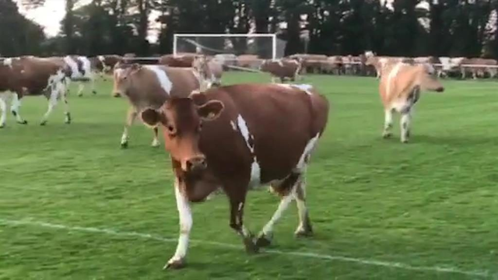 Bovines put boot in: Cows get past a fence and make a dash for the pitch at St Martin in Guernsey, forcing the ref to call off the match. One cow (below) has some heading practice PICTURES: SWNS