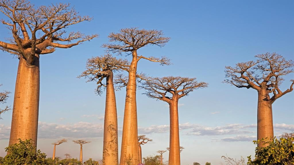 'Disaster': Climate change is wiping out baobabs, known as the tree of life, like these in Madagascar PIC: ALAMY