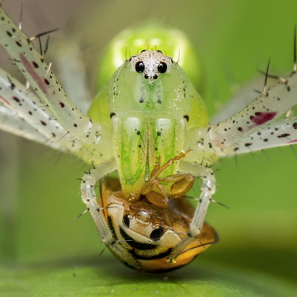 Predator: Green lynx spider stares down lens as it eats a beetle PICTURE: AGNISWAR GHOSAL/SWNS
