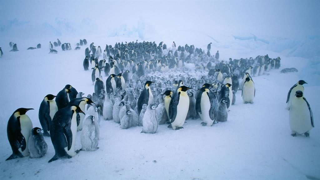Life in the freezer: One group of scientists is looking at the breeding success of emperor penguins PICTURE: ALAMY