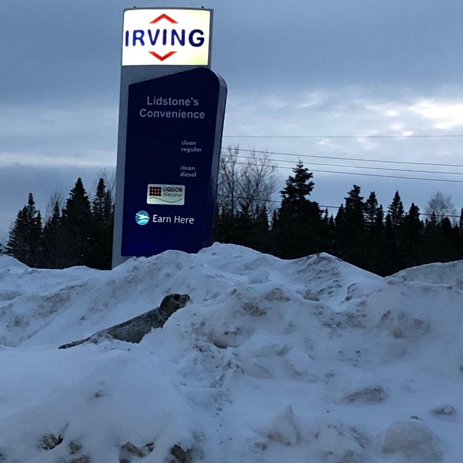 Snow go: A seal stuck outside a filling station in the Canadian town five miles from the sea