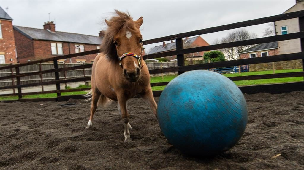 Own foal: Tiny Tony the pony has been perfecting his fancy footballing skills since he was young PICTURE: SWNS