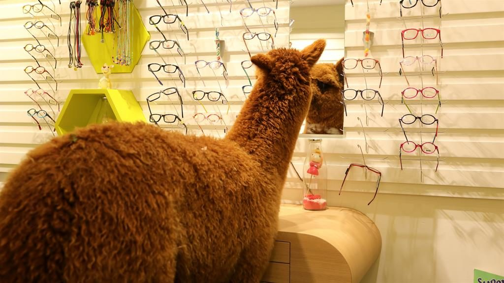 Spec he's fussy: The alpaca took his time choosing a pair PICTURES: SWNS