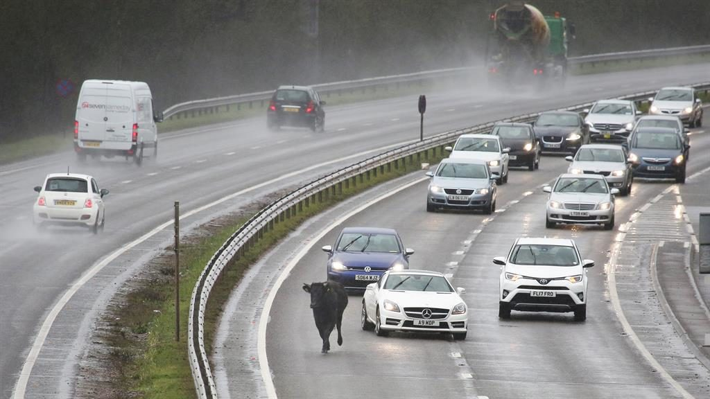 Un-bull-ievable: The farm animal has a near miss as drivers on the A6 swerve to avoid it and (below) is coaxed back off the road PICTURE: ALISTAIR LANGHAM/ SWNS