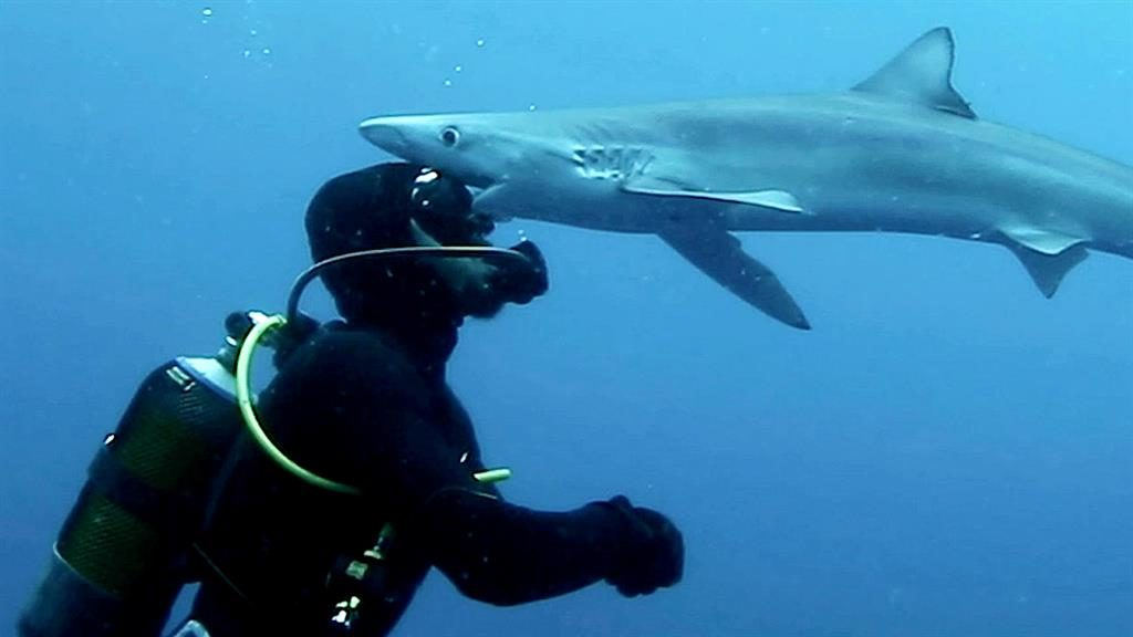 Lone shark: Marine scientist Kevin Schmidt has a close encounter with a blue shark off the coast of South Africa PICTURE: SWNS