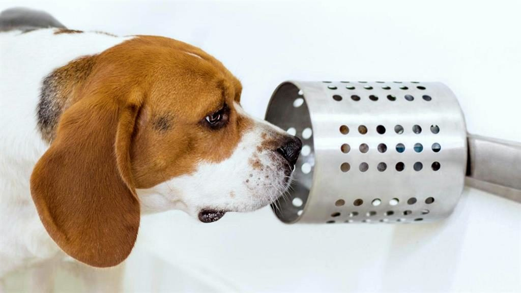 A nose for the job:  Beagles use sense of smell to pick out blood samples from people with lung cancer PICTURE: BIOSCENTDX/SWNS