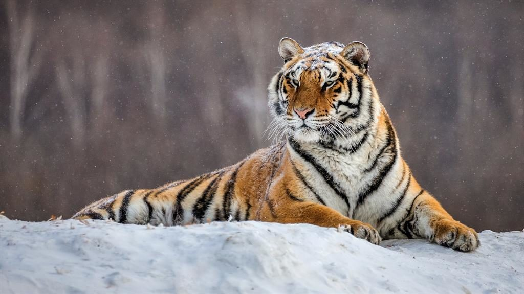 Beauty of the beasts: The Siberian tiger and, below, claw marks on a tree is evidence they're in the area