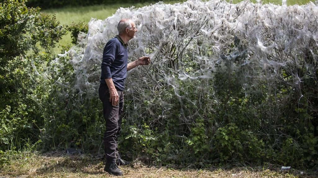 Curious: A local man takes a closer look at the web-covered hedgerow PICTURES: SWNS